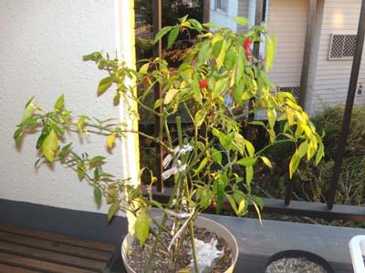 tougarashi 20101112_2069