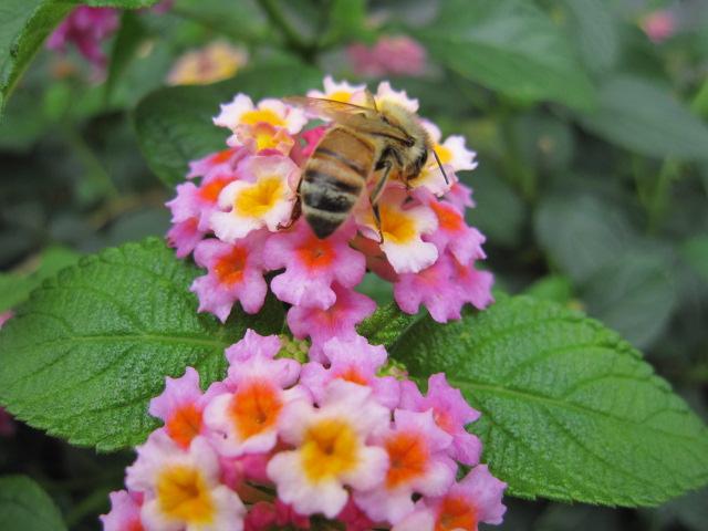 ミツバチとランタナ2