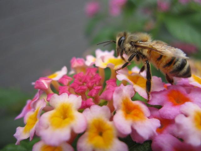 ミツバチとランタナ1