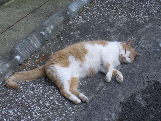 寝てなかったツンデレのデレ抜き猫