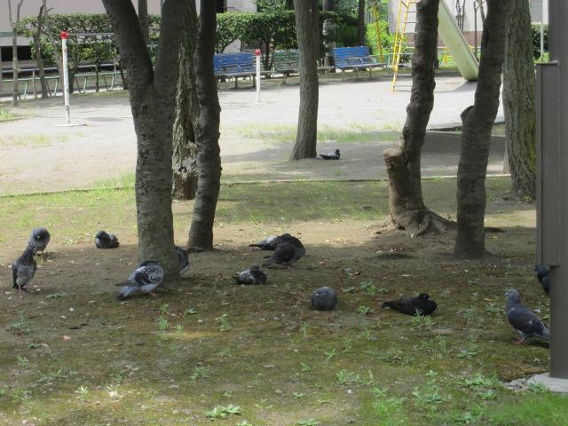 木陰で涼むハト軍団