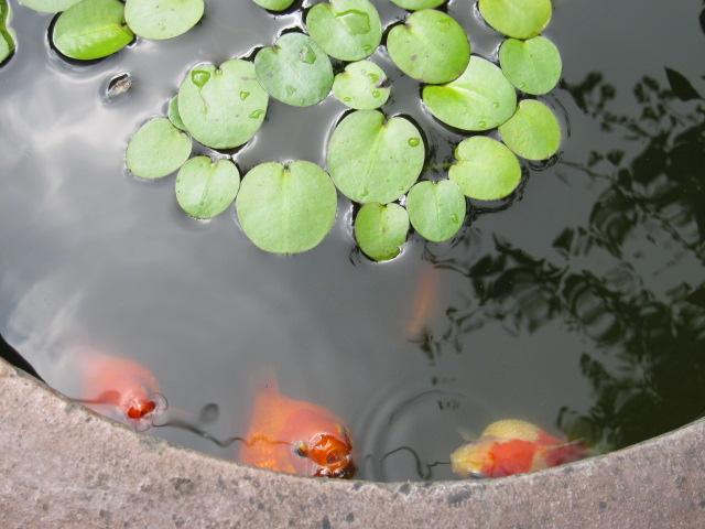 金魚パクパク♪