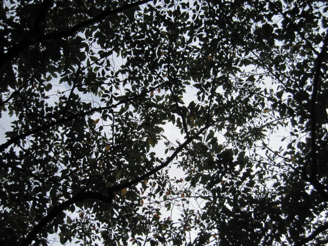 秋の朝の空と桜の枝葉