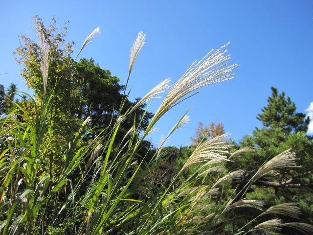秋っぽい植物ススキ