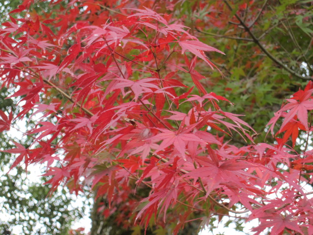 小じんまりした紅葉