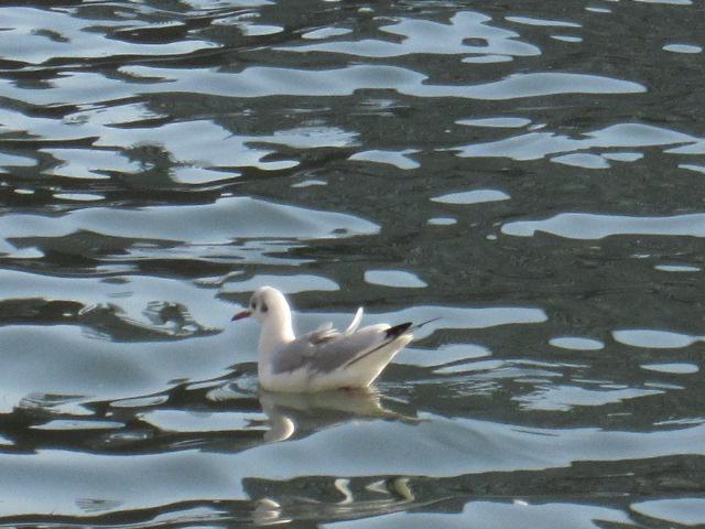 揺れる水面とユリカモメ