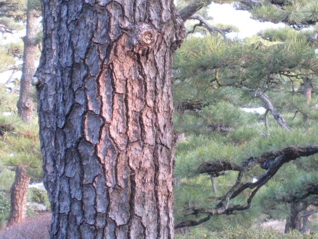 玉藻城 松の幹
