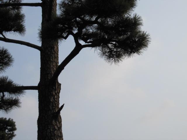 玉藻城の松 高松の写真まだまだある どうしよう・・・