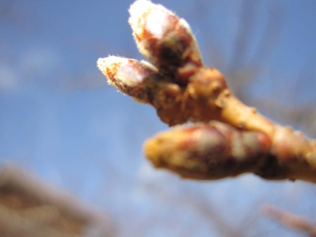 松山城の梅の蕾