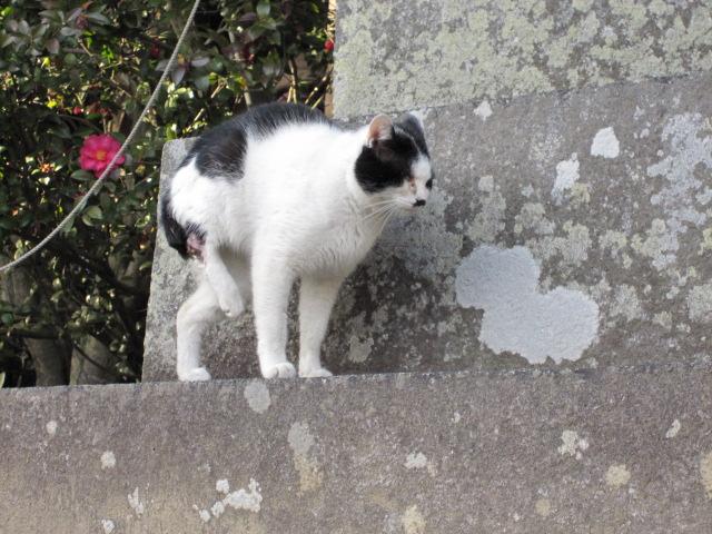石手寺の猫
