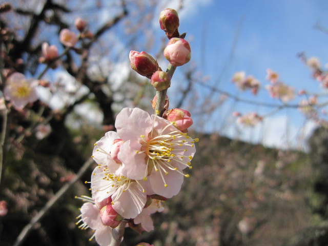 栗林公園梅の花