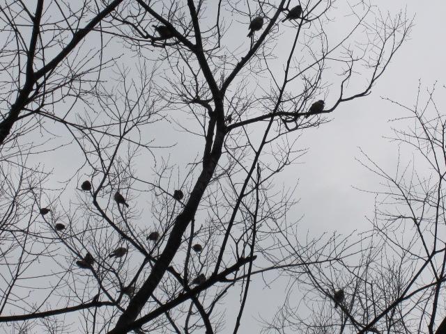 スズメ+サクラ=スズメの木