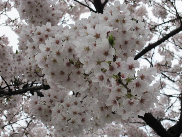 泉岳寺 桜