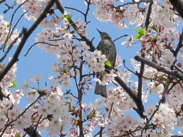 佃公園 桜とヒヨドリ