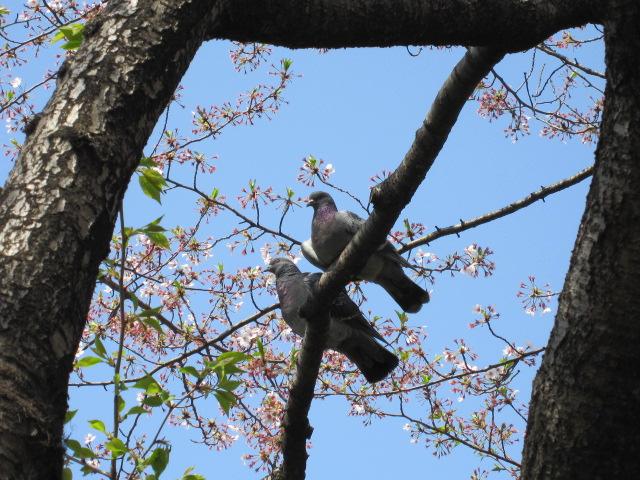 佃公園 桜とハト