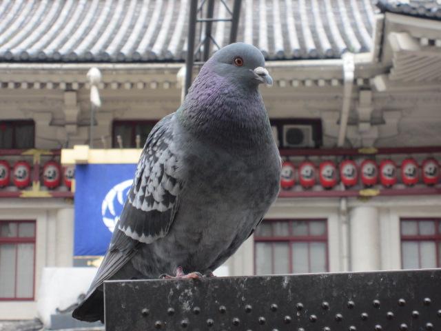 歌舞伎座withハト2