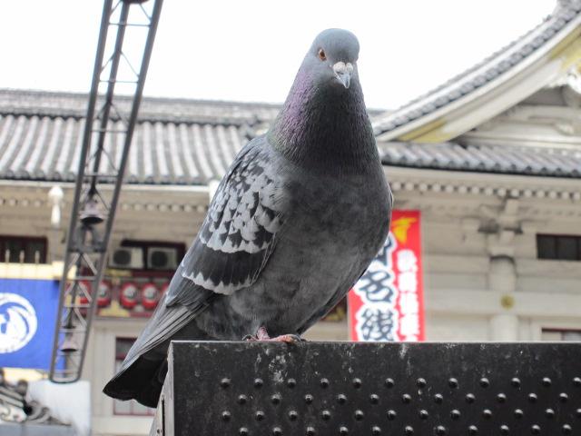 歌舞伎座withハト