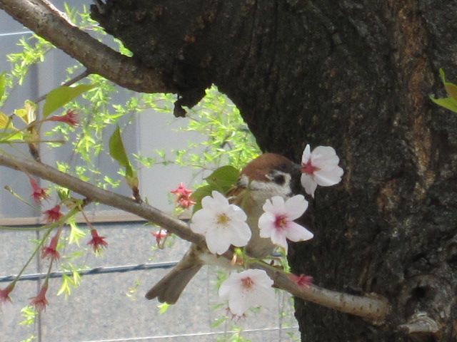 スズメ 桜の花びら