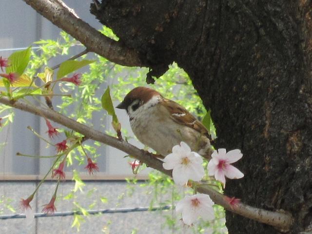 スズメ 桜の花びらを捨てた