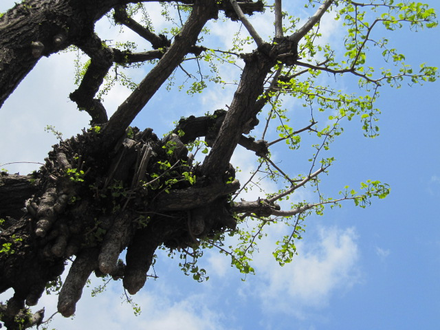 イチョウの木 上