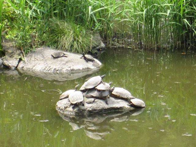 日比谷公園 カメ