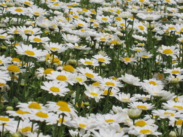 日比谷公園 花