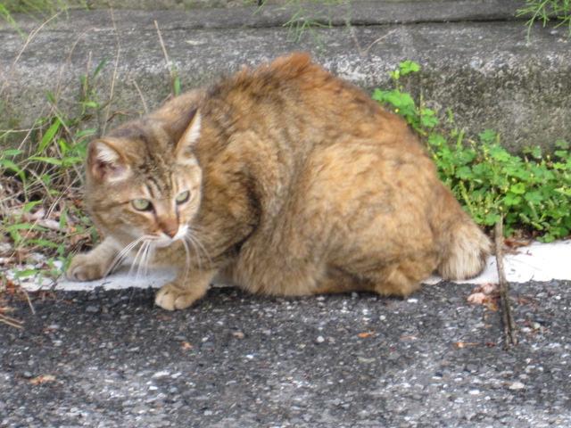 ワイルドなネコ 佃月島