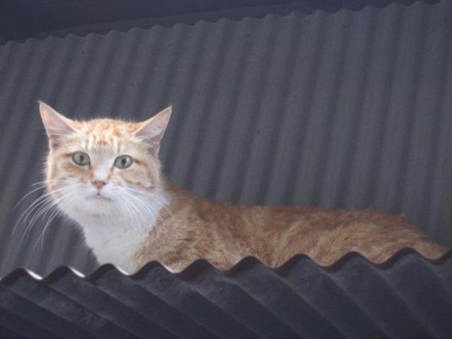 見つめるネコ1