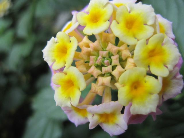 咲きそろいそうな花