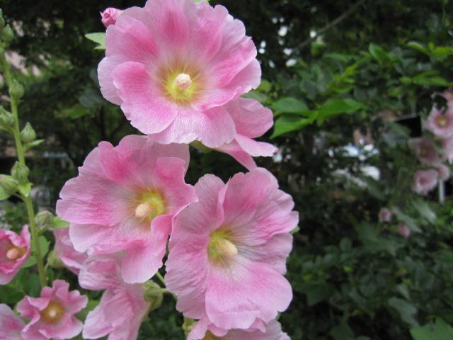 どんどん開く花
