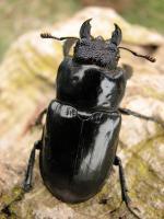 クリイロミヤマ北部亜種♀41