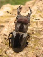 クロアシミヤマ南部亜種43