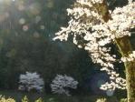 220330_楠本の桜2