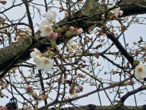 摂津峡桜0329
