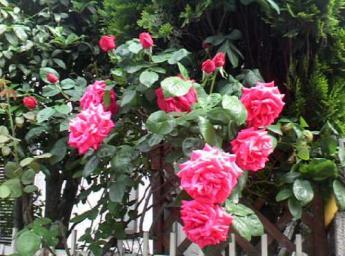 このバラはキレイに咲きました