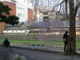 ござ九と桜