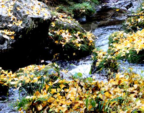 黄色の紅葉と川