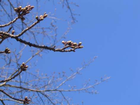 H220317桜の蕾