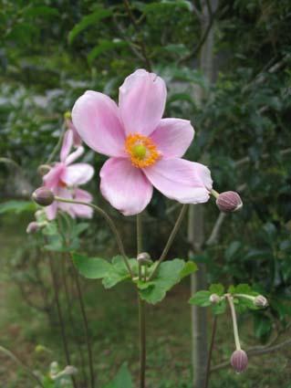 H220920秋明菊