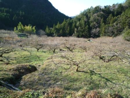 梅畑 つぼみ