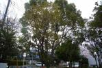 本場の熊谷桜