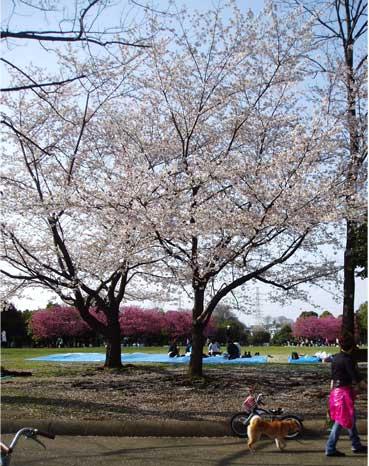 そめいと緋桜