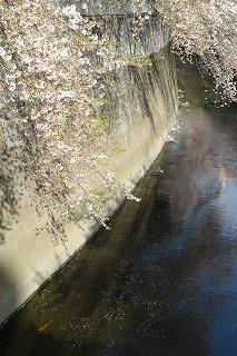 面影橋からの桜