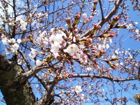 2010-0326sakura1.jpg