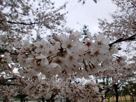 20100331sakura2.jpg