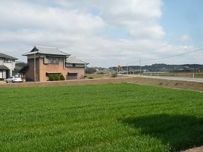 真っ青な麦畑です