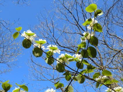 白い花も青空に映える