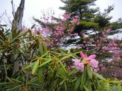 石楠花とアカヤシオ