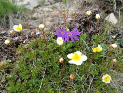 ハクサンコザクラと咲き始めたチングルマ