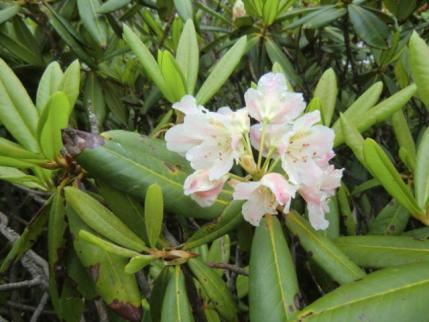 咲きだしたハクサンシャクナゲ
